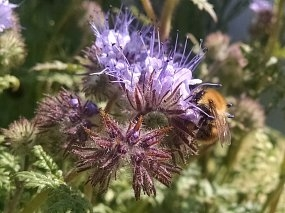 Pollinator awareness week - 13 – 19 July