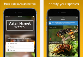 Smartphone app aims to prevent Asian hornet invasion