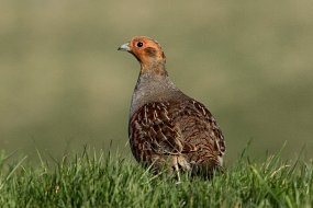 Get to know your farmland birds